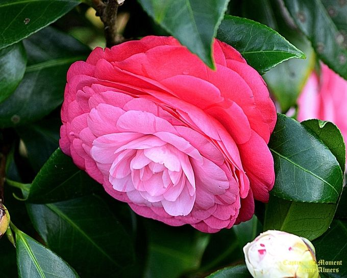La Peppermint Camellia in a Different Color