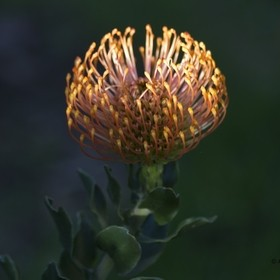 One of the Protea species found in South Africa. This particular plant is at George golf club. The photo was taken late afternoon.