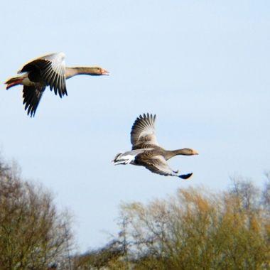Greylag Geese in flight.