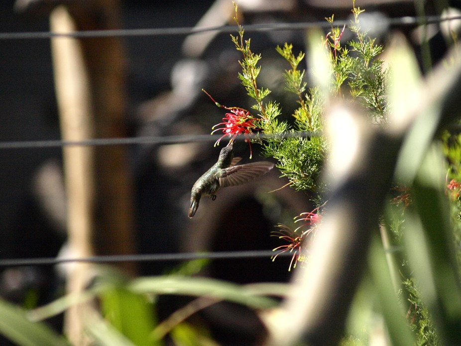 Californian hummingbird doing what it best knows!