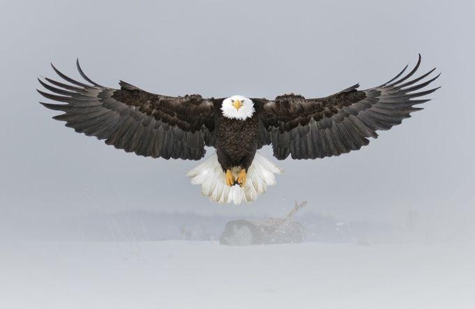 Bald Eagle 8 by SunBear22222 - Majestic Eagles Photo Contest