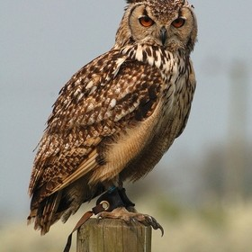Indian eagle owl sat on a post