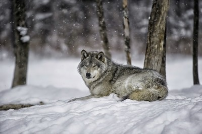 Timber wolf in snow