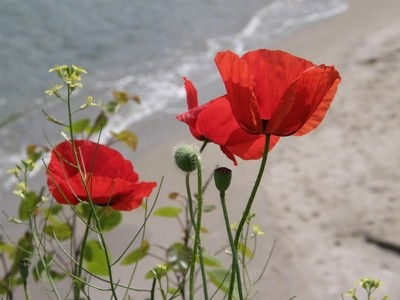 Poppies at the sea