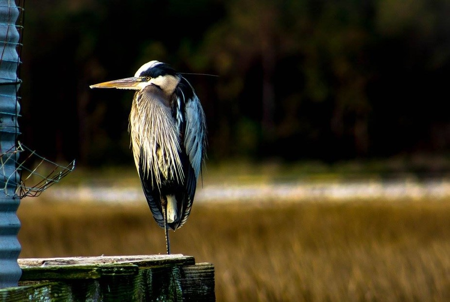 Blue Heron feeding early morning in Murrells Inlet, S.C. Huntington Beach State Park.
