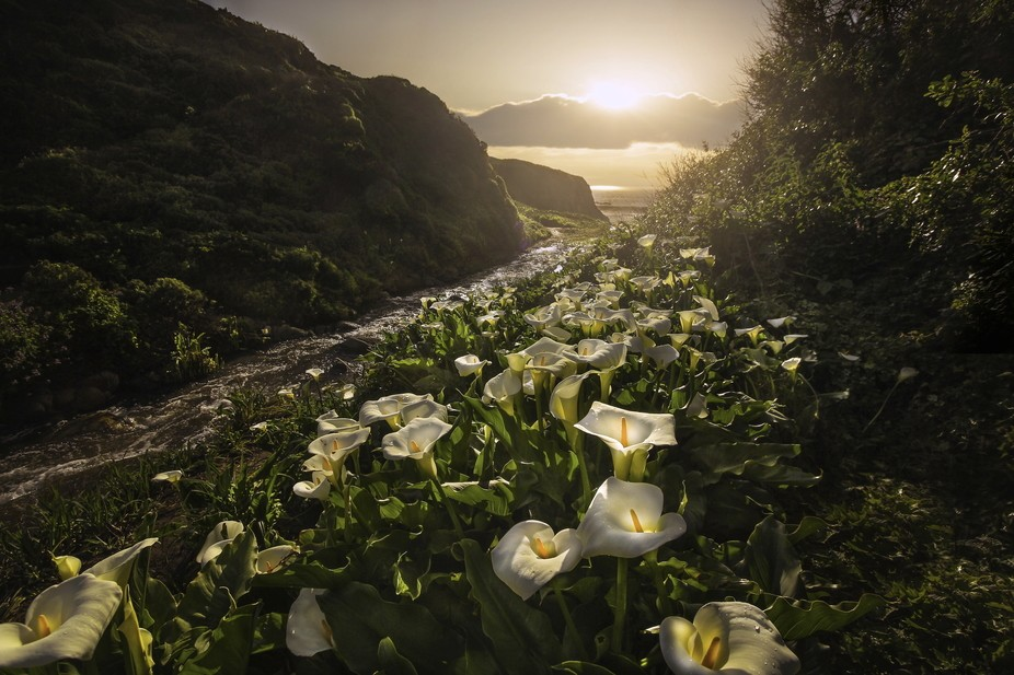 """The earth has music for those who listen""  ~GS~  The beautiful wild Calla Lily..."