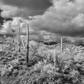 Saguaro cacti at Lake Pleasant Regional Park, a large outdoors recreation area straddling the Maricopa and Yavapai county border northwest of Pho...