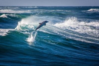 Dolphin at Ballina -  Northern NSW