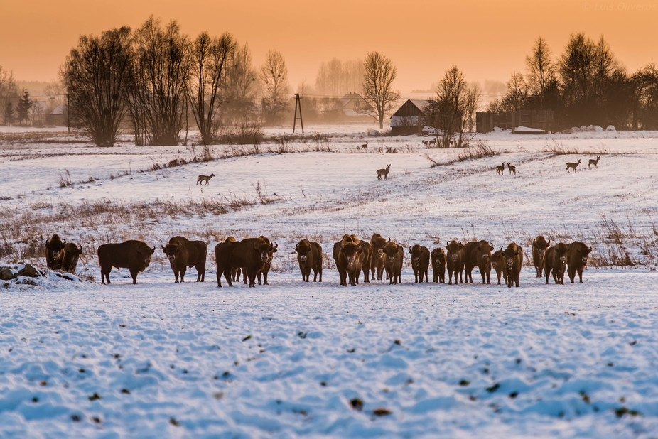 Bialowieza, Bisons and deer