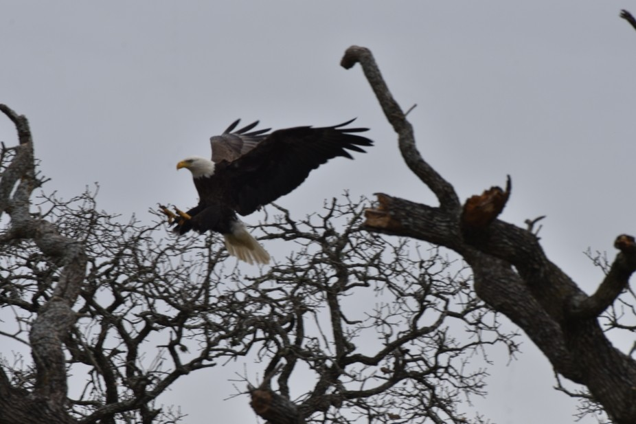 Beautiful Bald Eagle sliding on the air as it comes in to a graceful landing!