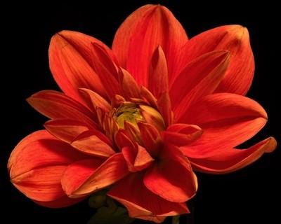 Orange Dahlia Bloom 1006