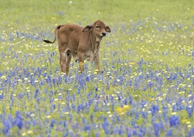 Calf in Bluebonnets