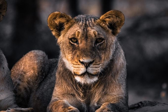 Portrait of a young lion by zistos - Wildlife Photo Contest 2017