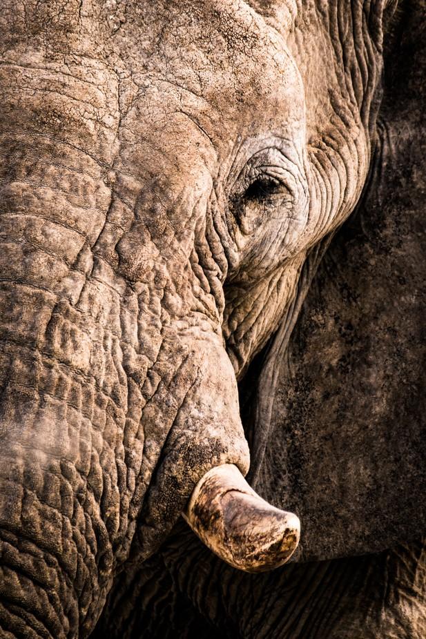 Elephant Portrait by zistos - Big Mammals Photo Contest