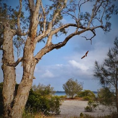 Brahminy Kite, Tin Can Bay, Australia.