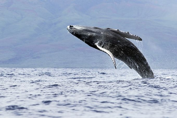Jump For Joy by Stu_Soley - Big Mammals Photo Contest