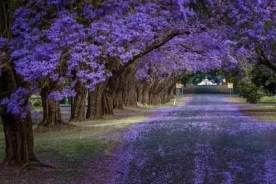 Spring in Grafton, the Jacarandas - Northern NSW - Australia