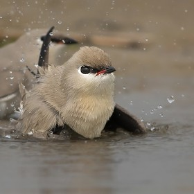 A little pratincole is enjoying the fun of bathing in the shallow of river Ganges