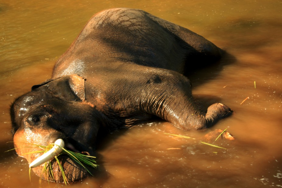 Elephant taking a cool bath in Thailand river