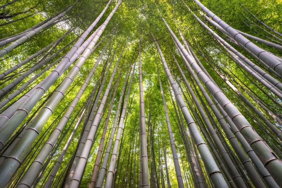 The other-worldly bamboo forest of Arashiyama, a green paradise.