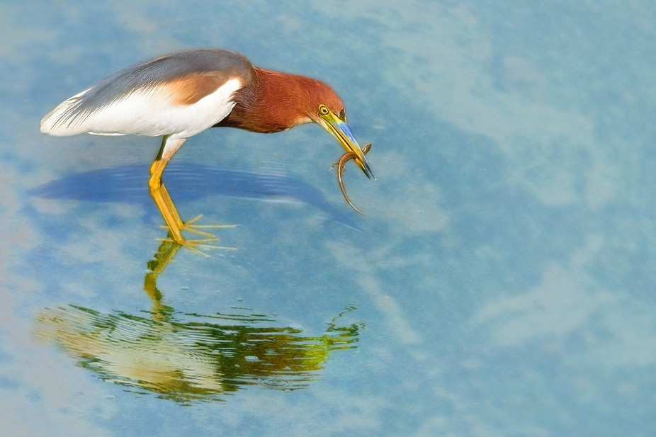 Breeding Chinese pond heron with Indian skink