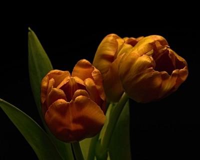 Tulip Gang 0321