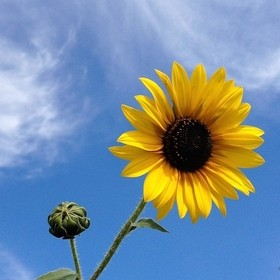 Photo of sunflower in it's absolute prime, taken at the very top of a hill to allow a straight on shot while using the wispy clouds and b...