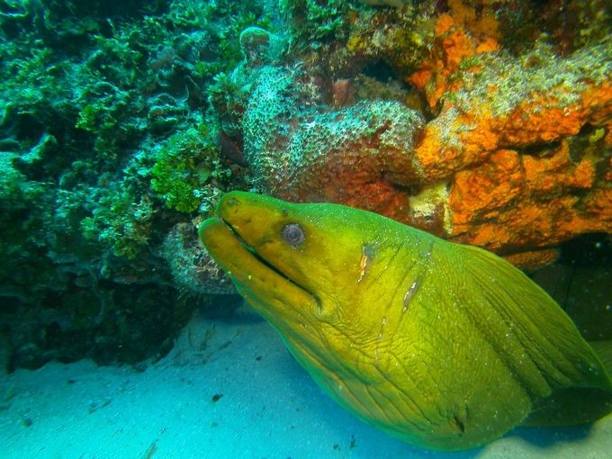 Green Morey eel waiting for lunch. Cozumel, Mx. diving