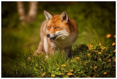 The Fox In Portrait