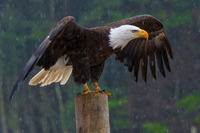 PK0_2522-1 by Chnski - Just Eagles Photo Contest