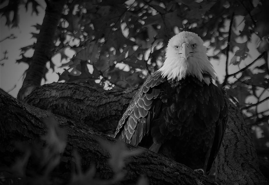 A stunning female bald eagle sitting very pretty on her favorite perch