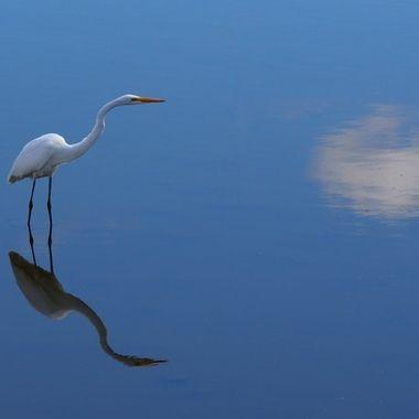 White Egret, Blue Water