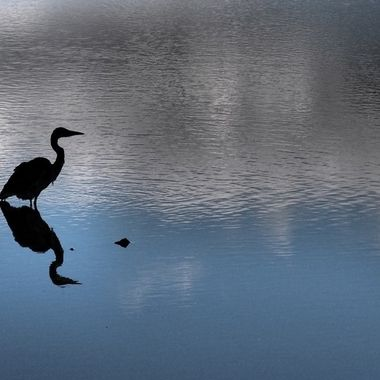 Black Heron, Blue Water