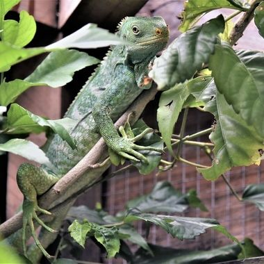 The Fiji Crested Iguana or Fijian Crested Iguana is a critically endangered species of iguana native to some of the northwestern islands of the Fijian archipelago where it is found in dry forests.