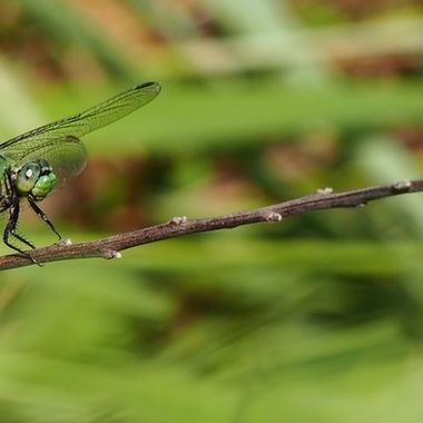Green Dragonfly on a Twig