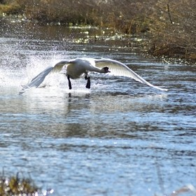 I was taking a walk with my camera and on my way back home I was fortunate to see a swan take off from the river.