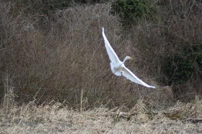 Blur of Egret