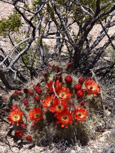 Barrel Cactus,, always the first to bloom