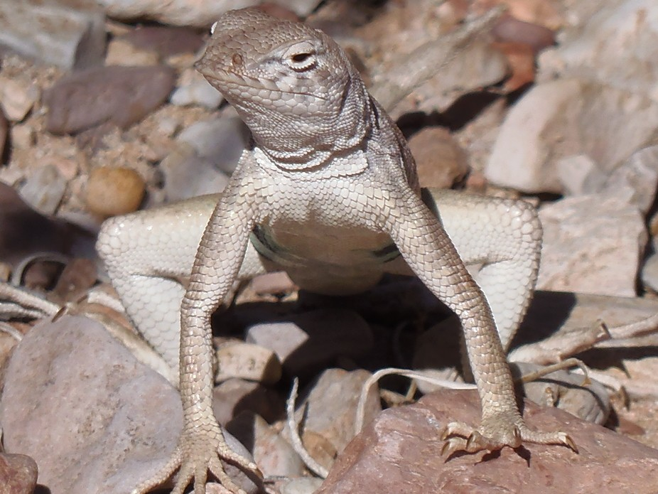 Lizard trying to look mean