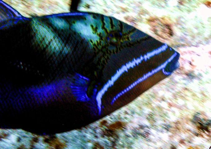 Trigger fish closeup (1 of 1)