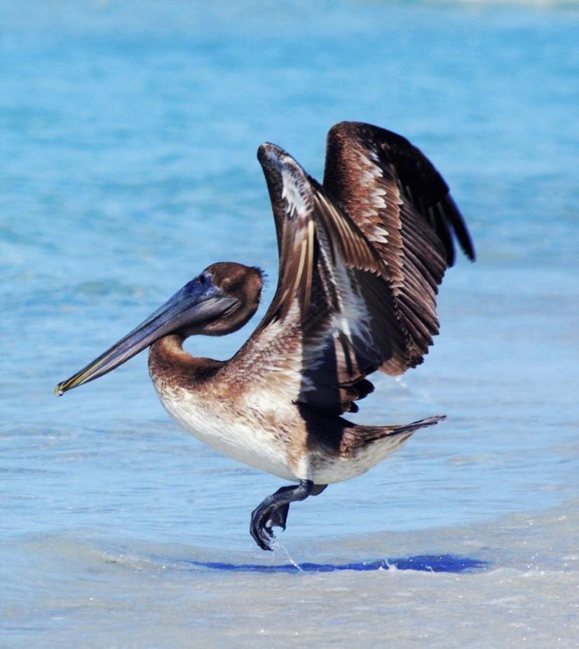 Pelican hop