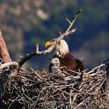 Bald Eagle chick 2017 IMG_1853