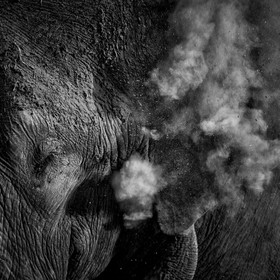 An elephant mud bathes itself with dust.