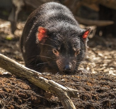 Tasmanian devil in the morning light