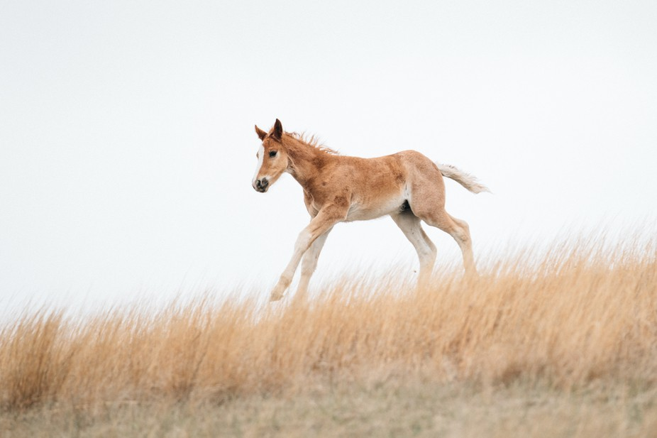 A wild foal at Theodore Roosevelt National Park sprinting down the hill to catch up to the rest o...