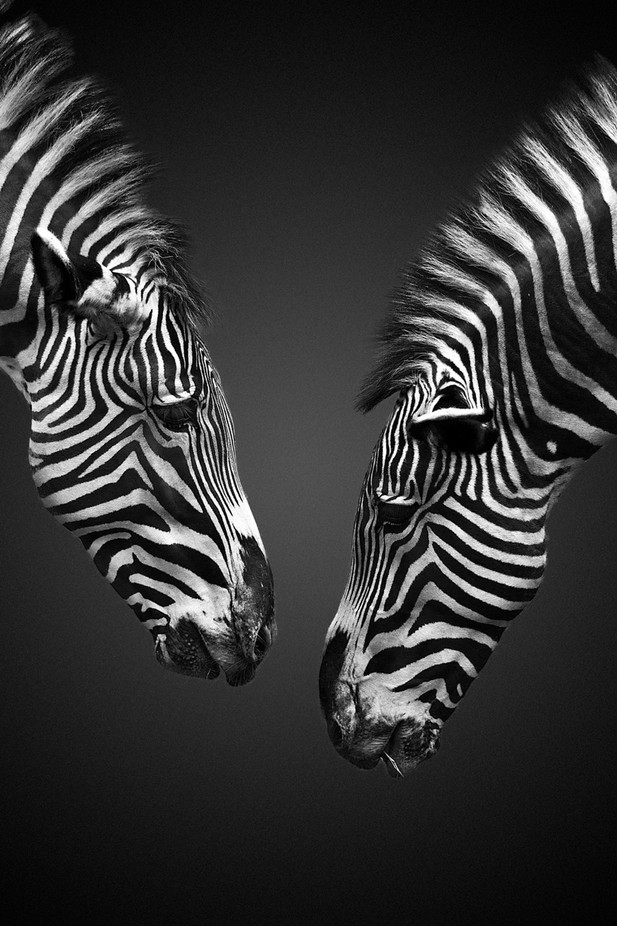 Zebra Social Networking by ivannicolau - A World In Black And White Photo Contest