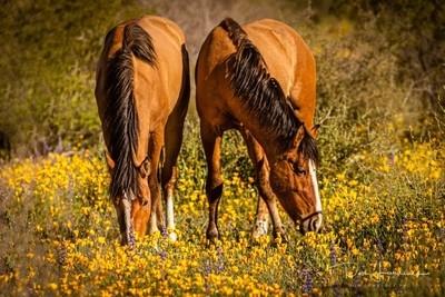 Wild Horses Wild Flowers