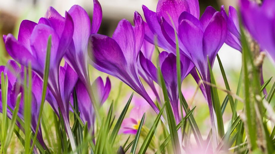 Fresh crocus flowers welcome the spring.