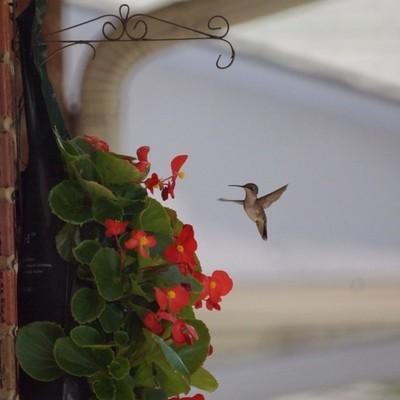 Hummingbird investigates neighbor's flowers