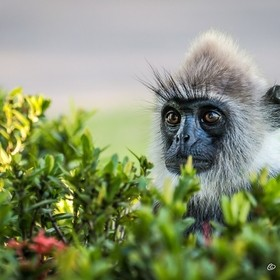 There are two types of monkey in Sri Lanka commonly seen, the Hanuman Lanhur or Grey Langur is one of them.  I love watching them play and the fa...